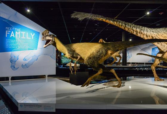 The exhibit includes other dinosaurs related to T. rex, like Proceratosaurus bradleyi. (AMNH)
