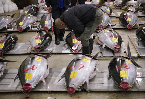 Buyers know how to look for signs of quality in fresh tuna at the old Tsukiji fish market in Tokyo, Japan. (AP)