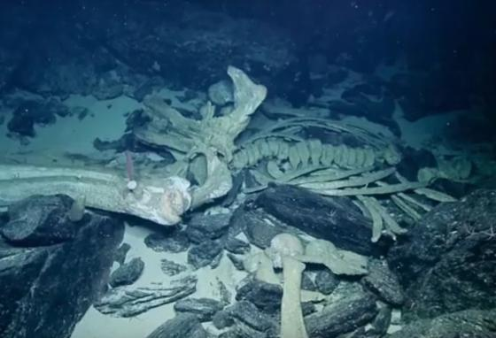 Scientists will continue to study the remains of this whale for years. (Nautilus)