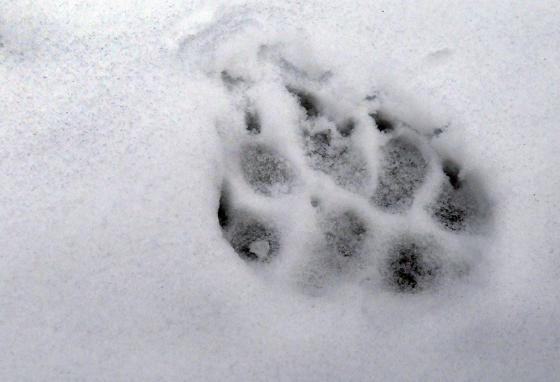 Finding a wolf track like this in the snow near your house might make you a little uncomfortable. (AP)