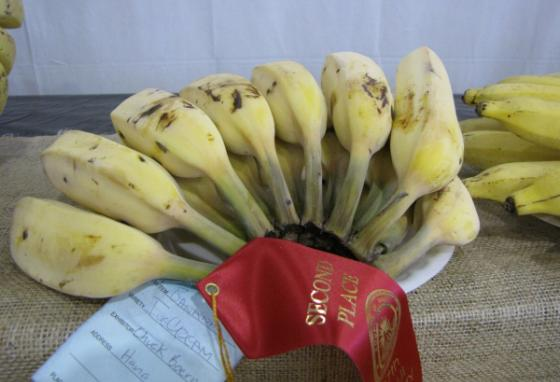 The Blue Java banana (nicknamed the Ice Cream banana) may become the next favorite. This cultivar (cross between two other bananas) has a creamy texture and tastes like vanilla. (Forest & Kim Starr/CC BY 3.0)