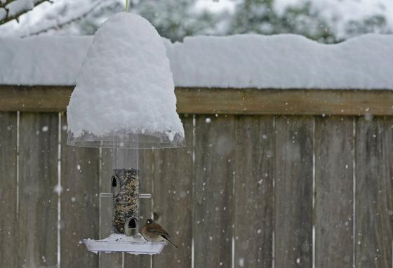 A bird eats seeds out of a snow-covered feeder in Olympia, Washington. (AP/Ted S. Warren)