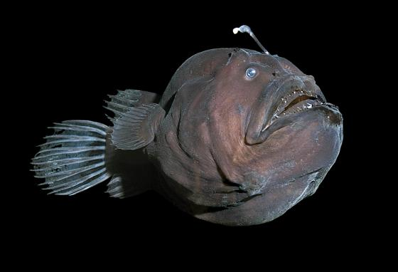 No light reaches down to where the deep sea anglerfish lives. So it has its own light!