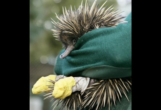 A keeper holds Cess the short-beaked echidna at Taronga Zoo in Sydney, Australia. Veterinarians took care of Cess after a road accident. (AP/Mark Baker)