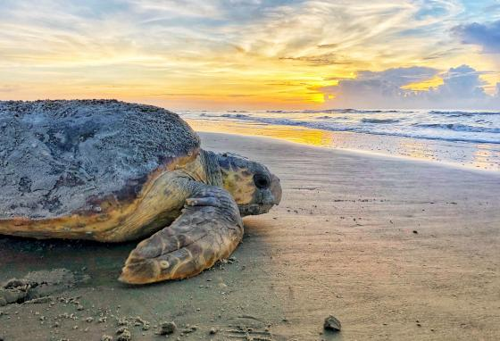 A loggerhead sea turtle returns to the ocean after nesting. Scientists think that many animals like turtles, snails, and others can sense the magnetic field. (Georgia Department of Natural Resources via AP)