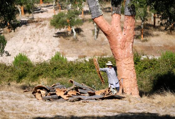A woman harvests bark from a cork oak in Coruche, Portugal. (AP/Armando Franca)