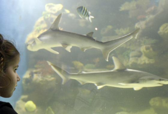 Roslyn Boden watches two bonnethead sharks swim at the Greater Cleveland Aquarium in Cleveland, Ohio. (AP/Tony Dejak)