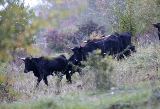 Conservationists are happy with how the cattle have helped the land to grow its native flora (plant life) again. (AP)