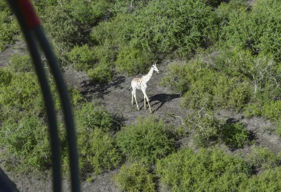 The giraffe's white color makes him stand out. He is not camouflaged as well as brown giraffes. (AP)