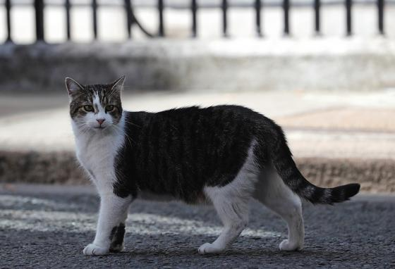 Larry, the Downing Street cat, doesn't care about politics. He will continue hanging around the prime minister's neighborhood. (AP)