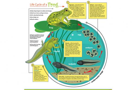 The life cycle of a frog is illustrated.
