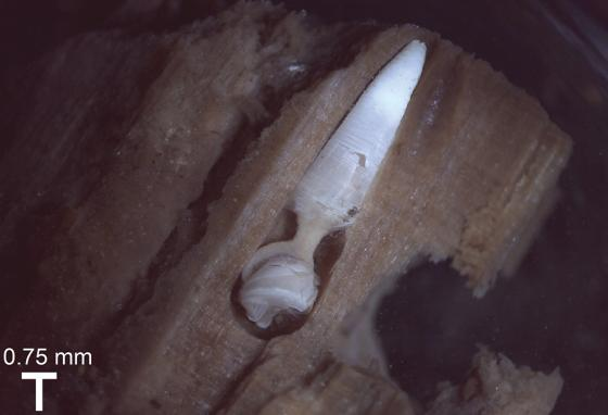 A wood-boring clam is shown burrowed into a piece of wood. (Jenna Judge)